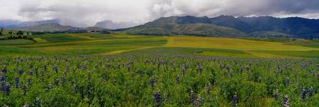 Lupine flowers in a field