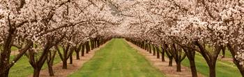 Almond Tree Orchard CA