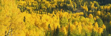 Aerial view of aspen trees in a forest