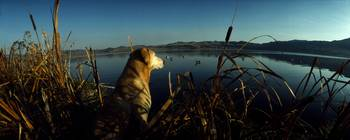Yellow Labrador Retriever Duck Hunting MT