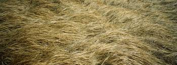 Close-up of hay