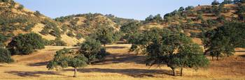 Oak trees on hill