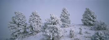 High angle view of pine trees covered with snow
