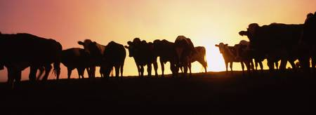 Silhouette of cows at sunset