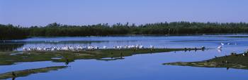 Flock of white pelicans at a lake