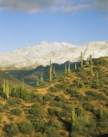 Saguaro cactus plants on a landscape