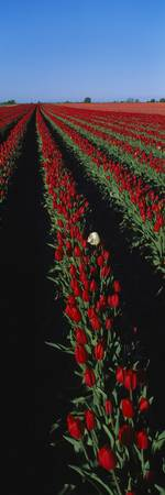 Field of red tulip flowers