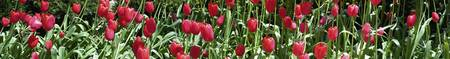 Close-up of red tulips in a garden
