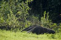 Giant anteater Myrmecophaga tridactyla in a fores