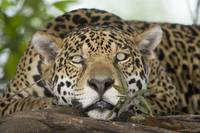 Jaguar Panthera onca resting on a tree trunk Thre
