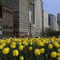 """Tulips along South Michigan Avenue"" by Panoramic_Images"