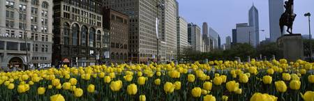 Tulips along South Michigan Avenue