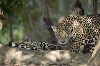 Jaguars Panthera onca in a forest Three Brothers