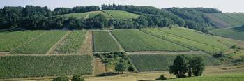 High angle view of vineyards
