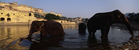 Three elephants in the river