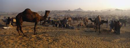 Camels in a fair