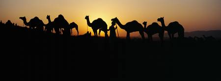 Silhouette of camels in a desert