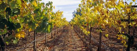Vines in a vineyard Napa Napa County California
