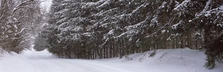 Spruce trees along a snow covered road