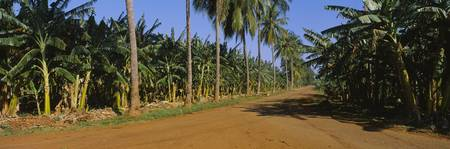 Palm trees and banana trees cultivated along a di