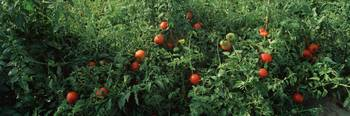 Close-up of tomatoes growing on a tree