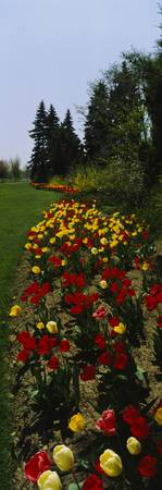 Tulips in a formal garden