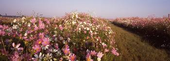Cosmos flowers blooming in a field South Africa