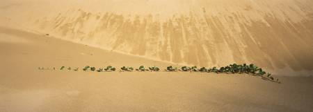 Succulent plants in a beach sand dunes South Afri