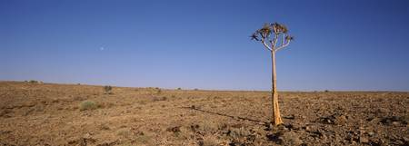 Lone Quiver tree Aloe dichotoma in a field Fish R