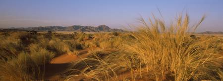 Grass growing in a desert Namib Rand Nature Reser