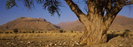 Camelthorn tree Acacia erioloba with mountains in