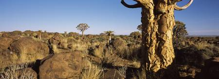 Quiver tree Aloe dichotoma growing in a desert Na