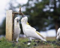 Cockatiels Drinking From Tap Australia