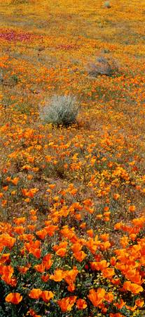 Antelope Valley Poppy Reserve CA