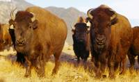 Herd of Buffalo Taos NM