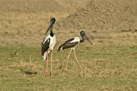 Close up of two Black Necked storks Ephippiorhync
