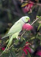 Close up of a Rose Ringed parakeet Psittacula kra