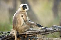 Langur sitting on a log Kanha National Park Madhy