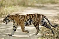 Bengal Tiger Panthera tigris tigris walking in a