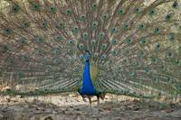 Peacock displaying its plumage Bandhavgarh Nation