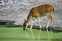 Spotted deer Axis axis drinking water from a lake