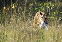 Bengal Tiger Panthera tigris tigris in a forest B
