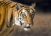 Close up of a Bengal tiger Panthera tigris tigris