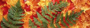 Close-up of fallen maple leaves