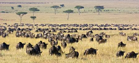 Herd of wildebeests grazing in a field