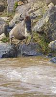 Wildebeest jumping into the river