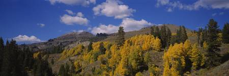 Aspen trees in mountains