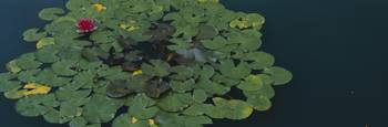 Water lily with lily pads in a pond