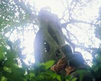 Hiker Looking at Strangler Fig Costa Rica