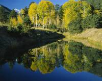Reflection of American Aspen trees in a pond